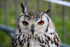 Indian Eagle-owl (Bubo bengalensis) (Seventh Heaven Photography) Tags: indian eagle owl eagleowl bubobengalensis bubo bengalensis bird horned animal 130th shrewsbury flower show shropshire england chrisnealfalconry chrisneal falconry