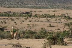 20170618_3915_Masai Mara_Girafe Masai (fstoger) Tags: kenya masaimara viesauvage wildlife safari girafe girafemasai masaigiraffe afrique africa