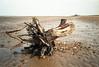 Rhipidistian (stemtrak) Tags: epsonv700 nikonl35af2 norfolk brancaster tree roots driftwood seaside fujicolorc200