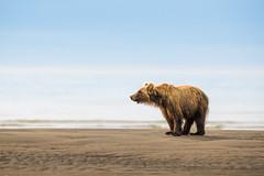 "Bear Pudding  312121 (Dr DAD (Daniel A D'Auria MD)) Tags: ""brownbears"" ""brownbearcubs"" ""bears"" cubs nature wildlife mammals predators ""livingwithbears"" grizzly grizzlies ""coastalbrownbears"" alaska ""lakeclarknationalpark"" ""danielad'auriamd"" ""drdadbooks"" ""children'swildlifebooksbydanielad'auriamd"" ""july2017"""