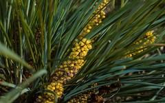 Lomandra cultivar (dustaway) Tags: lomandraceae lomandra cultivar australianplants inflorescence flowers spike lismore lismorerainforestbotanicgardens northernrivers nature nsw australia
