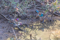Rokkitboy-0425.jpg (Rokkitboy) Tags: birding wildlife waterhole nature granatinagranatina southernafrica bushveld uraeginthusangolensis pilanesberg violetearedwaxbill bluewaxbill southafrica
