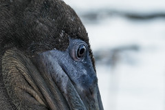 Galapagos Pelican face (DROSAN DEM) Tags: pelican pelicano islas galápagos island santa crux cruz natura acercamiento closeup