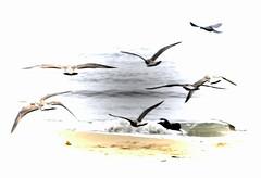 The Flight of the gulls (Gill Stafford) Tags: gillstafford gillys image photograph wales northwales colwynbay rhosonsea colwyn birds gulls seagulls flying flight