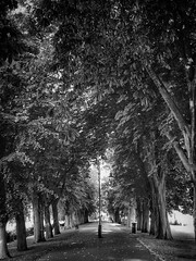 The Walks, King's Lynn (James Rye) Tags: bw walks walk iphone7plus jamesrye rye james kingslynn blanc noir bianco nero white black leaves shade light promenade avenue trees