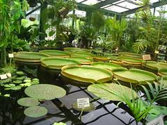 greenhouse (VERUSHKA4) Tags: canon russia europe moscow city cityscape greenhouse botanic garden nature tropical grren plant leaf water summer august euryaleforex flora astoundingimage