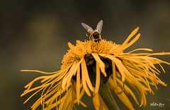 Mmm pollen (mirri_inc) Tags: bug flower bee nature decay autumn fall september closeup nikon sigma 105mm dof pov details pollen lunch insect animals rural countryside