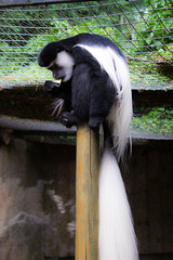 Photo of Colchester Zoo 2017 - Colobus Monkey