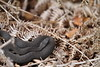 Melanistic adder number 2 (ChristianMoss) Tags: snake adder epping forest nature photography wildlife photo vipera berus