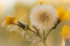 Last Hurrah (Karl's Gal) Tags: dandelion seedhead yellow endoftheseason autumn fall karlsgal
