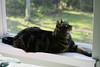 Buckley In The Window (~ Liberty Images) Tags: pet animal critter cat feline kitty window catsandwindows buckley tabby