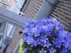 CLIP9234-036 (Rumskedi) Tags: monde世界 europa europe欧洲 belgië belgique belgien balcon campanule fauxbourdon