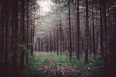The secret path (Ir3nicus) Tags: ausen bäume bönninghardt dieleucht nadelwald natur wald kamplintfort nordrheinwestfalen deutschland de afsnikkor50mm114g nikon d700 dslr fullframe fx germany nature forest trees outdoor path schneise swathe