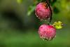 lacrime di rugiada (anarcnide) Tags: mele apple rugiada pioggia rain