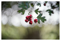 Berries in the rain (leo.roos) Tags: swirly berries bessen red rood a7rii meopta meostigmat3513 projectorlens projectionlens darosa leoroos