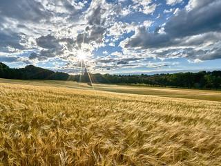 Weaving Corn in the Blinding Backlight - Wogende Ähren im gleißenden Gegenlicht