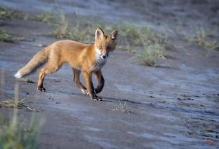 The Confident Fox Kit