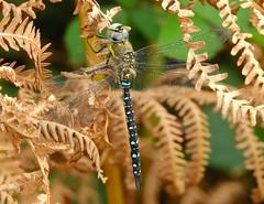 Migrant Hawker (Aeshna mixta) (Nick Dobbs) Tags: hawker aeshna dragonfly insect dorset river heath heathland migrant mixta