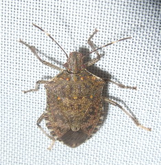Halyomorpha halys - Brown Marmorated Stink Bug (Stylurus) Tags: michigan prairie oaks lodi township stink bug loditownship mi halyomorpha halys brown marmorated nonnative invasive