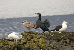 Cormorant, Gulls (Peanut1371) Tags: cormorant gulls seagulls birds ireland nationalgeographicwildlife