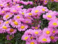 Lilac Daisies, Duthie Park, Aberdeen, July 2017 (allanmaciver) Tags: purple yellow dasies display colour eye cath aberdeen north east coast duthie park city allanmaciver lilac