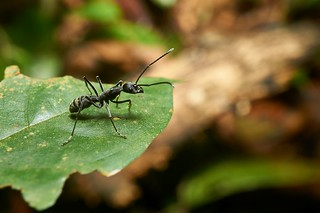 Ant (Formicidae), Singapore