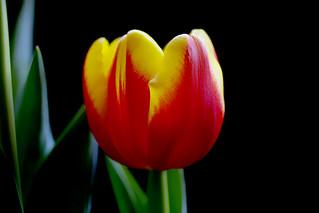 IMGP1052 Tulip