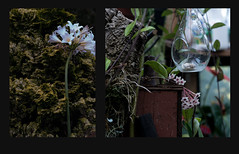 outside and in... (bunchadogs & susan) Tags: diptych greenhouse hoya outside nakedlady fortunacalifornia