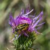 Metallic Wood-Boring Beetle (alitay) Tags: acmaeoderaamplicollis wheelersthistle beetle insect santacatalinamountains skyisland thistle wildflower metallicwoodboringbeetle