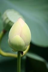 Lotus Bud (eyriel) Tags: garden pond flower macro bokeh nature