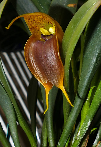 Masdevallia velifera orchid species