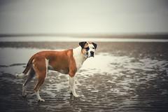36/52 just a rainy day in September (Jutta Bauer) Tags: 50mm moody mood rain september beach pitbullmix boxermix excellentedgar edgar dog 52weeksforedgar 52weeksfordogs