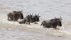 Lucky group crossing Mara River Tanzanie (twohamstersca) Tags: africa tanzania safari wildebeest migration marariver water wildlife nature canon5d