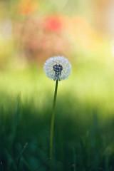 wish (LBK Photography Colorado) Tags: wish dandelion bokeh nature