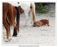 AssateagueYoungPony (Runninghounds Photography) Tags: assateague assateaguenationalseashore ponies youngponies maryland ocean sand wildponies nikond300 nikkor70200f28g cute poniesmaybiteorkick stayback seashore vacation oceancity