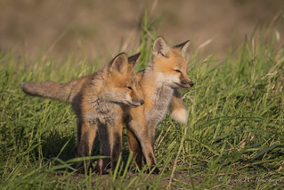Red Fox - Pups/Kits
