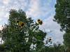 Sunflowers (Elise de Korte) Tags: fr france frankrijk ldf lafrance bloei bloeien bloem bloemen fleur fleurs flower flowering flowers garden groentetuin jardin moestuin plant potager summer sunflower tournesol tuin vegetablegarden veggiegarden zomer zomers zonnebloem été