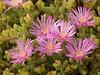 """Eine """"Mittagsblume"""" """"Eisblume"""" - Drosanthemum floribundum? (fotoculus) Tags: griechenland nördlichesporaden skopelos skopelosstadt flora oleander eisblumen mittagsblumen"""