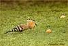 UPUPA (leon.calmo) Tags: leoncalmo canon eos50d upupa giardino albicocche uccelli