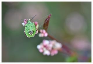 Punaise marginée verte - Nezara viridula