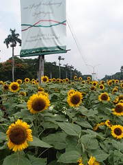 Sunflowers (Carrascal Girl) Tags: up diliman updiliman universityofthephilippines graduation cssp sunflowers