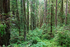 Arcata Community Forest, California (alanmeyer.california) Tags: arcatacommunityforest arcata california redwoods forest trees bigtrees green hike path ferns leaves scenic landscape peaceful tranquility naturelooptrail trail1 tree trail