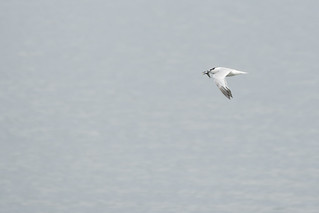 young Sandwich tern with fish