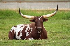 Texas Longhorn Female (jerrygabby1) Tags: cow longhorn pet cattle horn