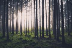 Somebody´s Calling Me (der_peste) Tags: forest light mist fog foggy misty nebel tree trees woods timberland woodland shining sun sunlight sunrise mood moody