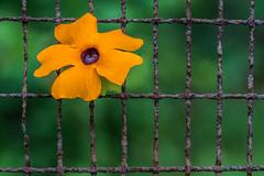 rusty Susanne - rostige Susanne (HFF) (ralfkai41) Tags: hff fencedfriday makro bokek rost macro macromondays blackeyedsusanne nature blüte flower blume rust schwarzäugigesusanne blossom natur gitter