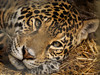 Drowsy Afternoon - IA010676 (Boyce905) Tags: jaguar tequila wight iow zoo