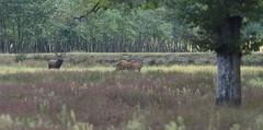 un prétendant bien ambitieux (guiguid45) Tags: nature sauvage animaux mammifères forêt loiret forêtdorléans d810 nikon 500mmf4 cervidés cerf cervuselaphus cerfelaphe brame biche