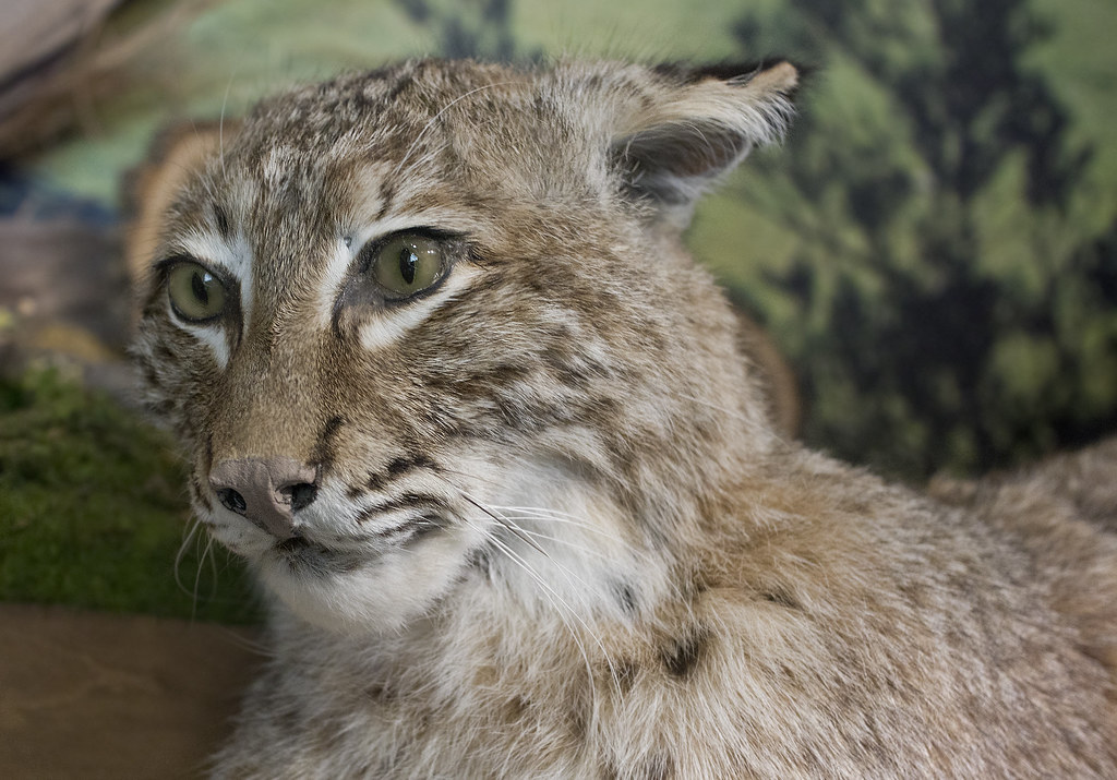 bobcat research paper The bobcat (lynx rufus) is a north american mammal of the cat family felidae, appearing during the irvingtonian stage of around 18 million years ago (aeo)[3.