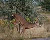 Young Buck Jumps Fence - 15 of 19 (dcstep) Tags: greenwoodvillage fence jumpfence dsc9316dxo cherrycreekstatepark colorado usa buck bigbuck deer whitetaildeer sonya9 sony ilce9 g master 100400mm f4556 all rights reserved copyright 2017 david c stephens dxo optics pro 1142 prime noise reduction natureurban urban nature